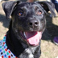 Adopt A Pet :: Bo - San Ramon, CA