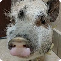 Adopt A Pet :: Piglet - Las Vegas, NV