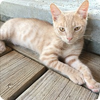 Adopt A Pet :: Simba #3 - Lunenburg, MA