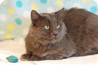 Norwegian Forest Cat Cat for adoption in Coronado, California - Greyson