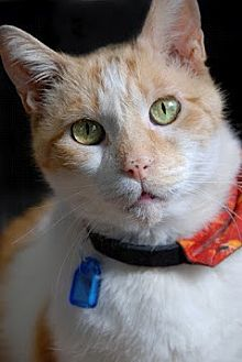 Domestic Shorthair Cat for adoption in Seal Beach, California - Tabasco