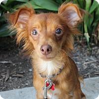 Adopt A Pet :: Red - Encino, CA