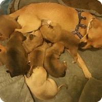 Adopt A Pet :: Adelaide's Puppy #3 - Gardena, CA