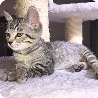 Domestic Shorthair Kitten for adoption in Austin, Texas - Mogwai