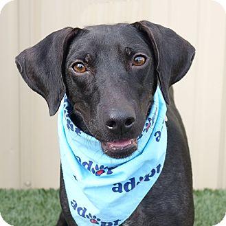 Labrador Retriever/Dachshund Mix Dog for adoption in Columbia, Illinois - Madame Zeroni