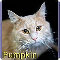 Adopt A Pet :: Pumpkin - Aldie, VA