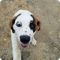 Adopt A Pet :: BEETHOVEN - Gustine, CA