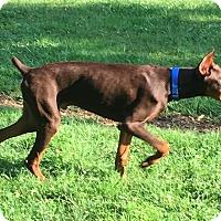Adopt A Pet :: Bogie - Lafayette, IN