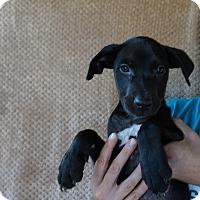 Adopt A Pet :: Joy - Oviedo, FL
