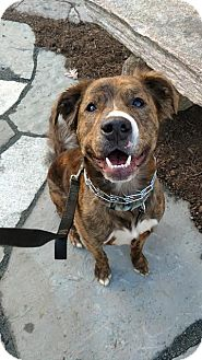 Dutch Shepherd Mix Dog for adoption in Silver Spring, Maryland - Hofstra