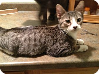Domestic Shorthair Kitten for adoption in East Hanover, New Jersey - Nash