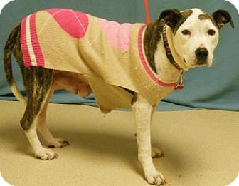 American Pit Bull Terrier Mix Dog for adoption in Gary, Indiana - Izzy