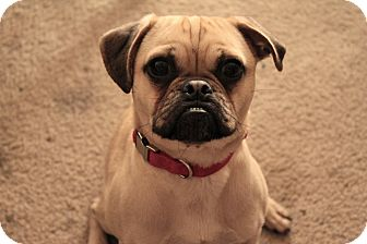 Pug/Chihuahua Mix Dog for adoption in Austin, Texas - Jasper