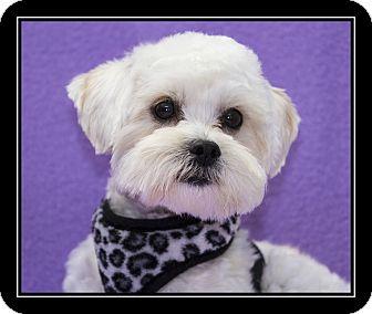 Maltese Mix Dog for adoption in Ft. Bragg, California - Jonathon