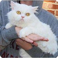 Adopt A Pet :: Scottie - McDonough, GA