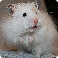 Adopt A Pet :: Fluffernutter - Bensalem, PA