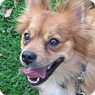 Adopt A Pet :: Sampson