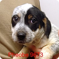 Adopt A Pet :: Pheobe - baltimore, MD