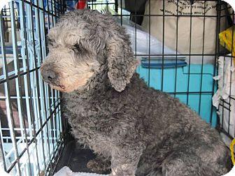 Poodle (Miniature) Mix Dog for adoption in DAYTON, Ohio - Sienna