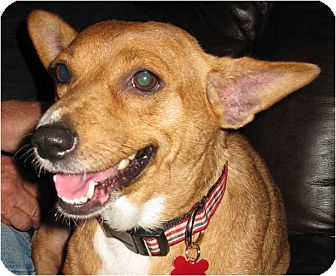 Corgi/Miniature Pinscher Mix Dog for adoption in Salem, Oregon - Lily