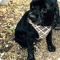 Adopt A Pet :: Ginny-adoption pending - Sacramento, CA