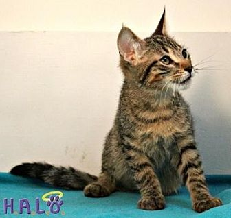 Domestic Shorthair Cat for adoption in Sebastian, Florida - Tiger