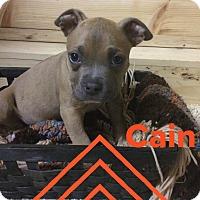 Adopt A Pet :: Cain - Livermore, CA