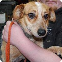 Adopt A Pet :: Beanie - Brooklyn, NY