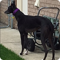 Greyhound Dog for adoption in Monroe, Michigan - THOR