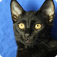 Domestic Shorthair Kitten for adoption in Winston-Salem, North Carolina - Ember