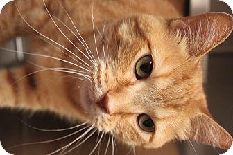 Domestic Shorthair Cat for adoption in Appleton, Wisconsin - Spruce *Petsmart*