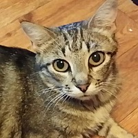 Domestic Shorthair Cat for adoption in Brighton, Missouri - Gypsy