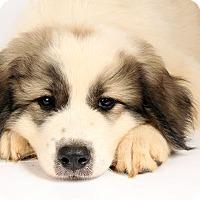 Adopt A Pet :: Vance Pyr - St. Louis, MO