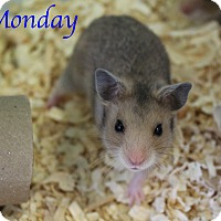 Hamster for adoption in Bradenton, Florida - Monday
