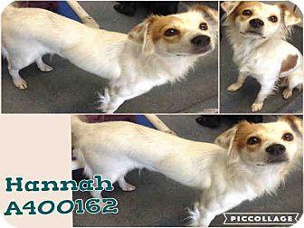 Brittany Mix Dog for adoption in San Antonio, Texas - Hannah