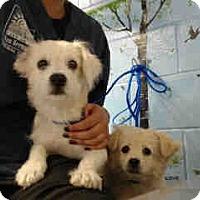 Terrier (Unknown Type, Small) Mix Puppy for adoption in San Bernardino, California - URGENT on 10/19 SAN BERNARDINO