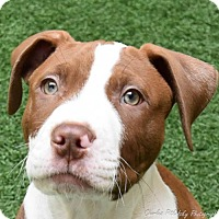 Adopt A Pet :: Gus Gus - Burlingame, CA