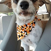 Adopt A Pet :: Roger - Tempe, AZ