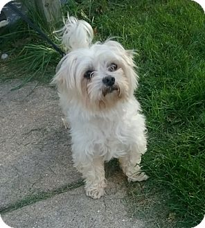 Maltese Mix Dog for adoption in Kalamazoo, Michigan - Digit - Chelsea