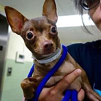 Chihuahua Mix Dog for adoption in Manhattan, New York - Cora