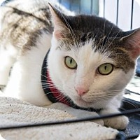 Adopt A Pet :: Brookie - New York, NY