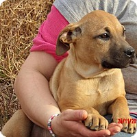 Great Dane/Shepherd (Unknown Type) Mix Puppy for adoption in Williamsport, Maryland - Tink (14 lb) Pretty Pup!
