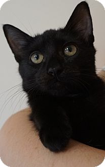 Domestic Shorthair Kitten for adoption in Bethesda, Maryland - Acadia
