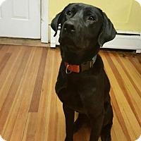 Adopt A Pet :: Cajun- purebred lab - North Creek, NY