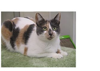 Calico Cat for adoption in San Carlos, California - Haven