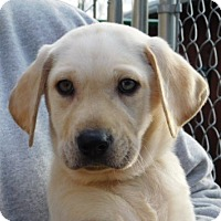 Adopt A Pet :: Lazer - Conesus, NY