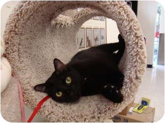Oriental Cat for adoption in Owasso, Oklahoma - Alex