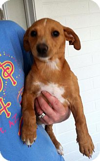 Dachshund/Chihuahua Mix Puppy for adoption in Gilbert, Arizona - Pru