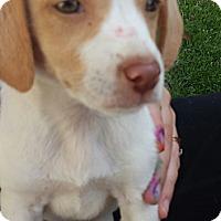 Adopt A Pet :: Baby - St. Louis, MO