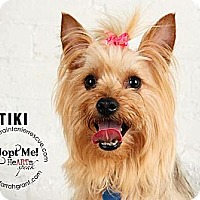 Adopt A Pet :: Tiki - Omaha, NE